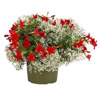 Dehner Premium Pflanzen-Duo