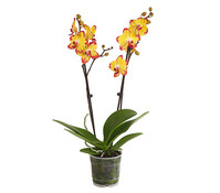 Dehner Premium Schmetterlingsorchidee 'Bee Sting'