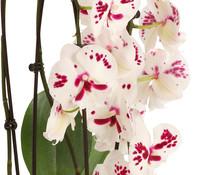 Dehner Premium Schmetterlingsorchidee 'Big Lip Cascade'