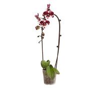 Dehner Premium Schmetterlingsorchidee 'Big Lip', Cascade