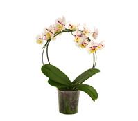 Dehner Premium Schmetterlingsorchidee, Bogen, Sortenmix