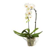 Dehner Premium Schmetterlingsorchidee 'Cascade', 1-Trieber