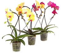 Dehner Premium Schmetterlingsorchidee 'Heart'