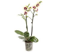 Dehner Premium Schmetterlingsorchidee 'Panda'