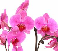 Dehner Premium Schmetterlingsorchidee 'Umbrella'