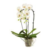 Dehner Premium Schmetterlingsorchidee 'Wasserfall', weiß