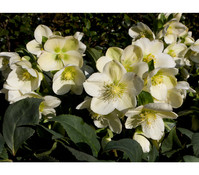 Dehner Premium Schneerose 'Ice Breaker® Max' - Helleborus Gold Collection®