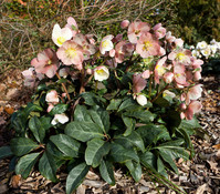 Dehner Premium Schneerose 'Maestro'® - Helleborus Gold Collection®