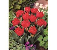 Dehner Premium Tulpe 'Abba'
