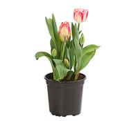 Dehner Premium Tulpe 'Rexona'