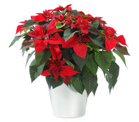 Dehner Premium Weihnachtsstern, Busch
