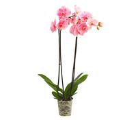 Dehner Schmetterlingsorchidee 'Pink Zebra'