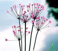 Dehner Schwanenblume - Wasserviole - Blumenbinse