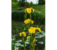 Dehner Sumpf-Schwertlilie, gelb