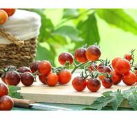 Dehner Tomate 'Indigo Blue Berries'
