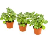 Dehner Verpiss-Dich-Pflanze, im Set