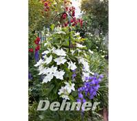Dehner Waldrebe - Clematis, weiß
