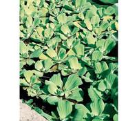 Dehner Wassersalat - Muschelblume