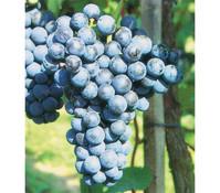 Dehner Wein 'Regent'