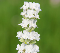 Downderry Lavendel 'Arctic Snow'
