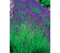 Downderry Lavendel 'Aromatico Blue'