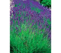 Downderry Lavendel 'Aromatico Blue'