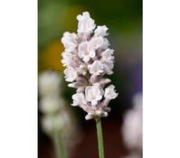 Downderry Lavendel 'Aromatico Silver'