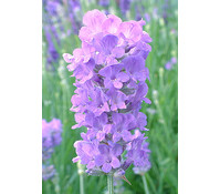 Downderry Lavendel 'Cedar Blue'