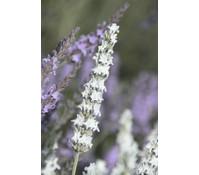Downderry Lavendel 'Edelweiß'