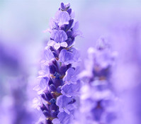 Downderry Lavendel 'Elizabeth'