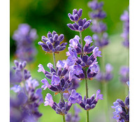 Downderry Lavendel 'Folgate'