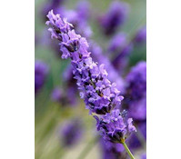 Downderry Lavendel 'Grosso'