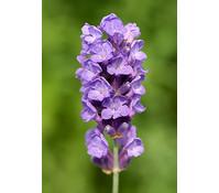 Downderry Lavendel 'Loddon Blue'