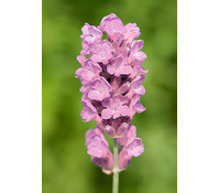 Downderry Lavendel 'Loddon Pink'