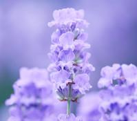 Downderry Lavendel 'Melissa Lilac'
