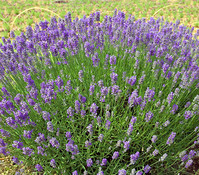 Downderry Lavendel 'Miss Muffet'