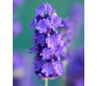 Downderry Lavendel 'Peter Pan'