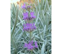 Downderry Lavendel 'Princess Blue'