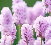 Downderry Lavendel 'Rosea'