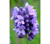 Downderry Lavendel 'Thumbelina Leigh'