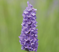 Downderry Lavendel 'Walbertson's Silver Edge'