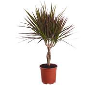 Drachenbaum, geflochten, Sortenmix