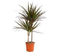 Drachenbaum 'Magenta'