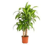 Drachenbaum 'Massangeana'