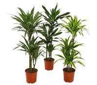 Drachenbaum Sortenmix