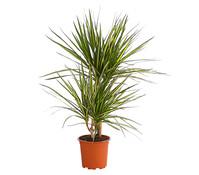 Drachenbaum 'Sunray'