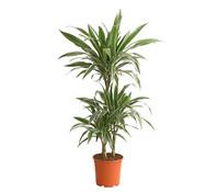 Drachenbaum 'White Stripe'