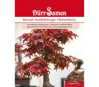 Dürr Samen Bonsai Rotblättriger Fächerahorn