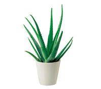 Echte Aloe im Topf