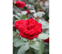 Edelrose 'Red Brokat'®